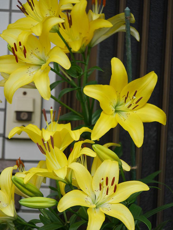 黄色のユリの花が良い感じなった。2020年-021.jpg