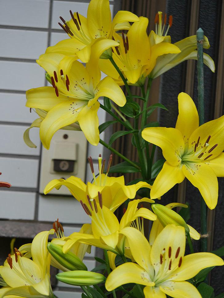 黄色のユリの花が良い感じなった。2020年-022.jpg