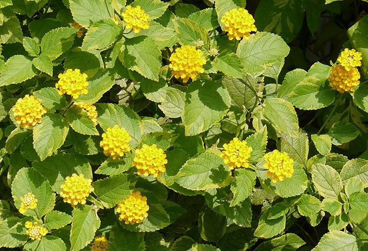 黄色のランタナが咲いた。2015年-1.jpg