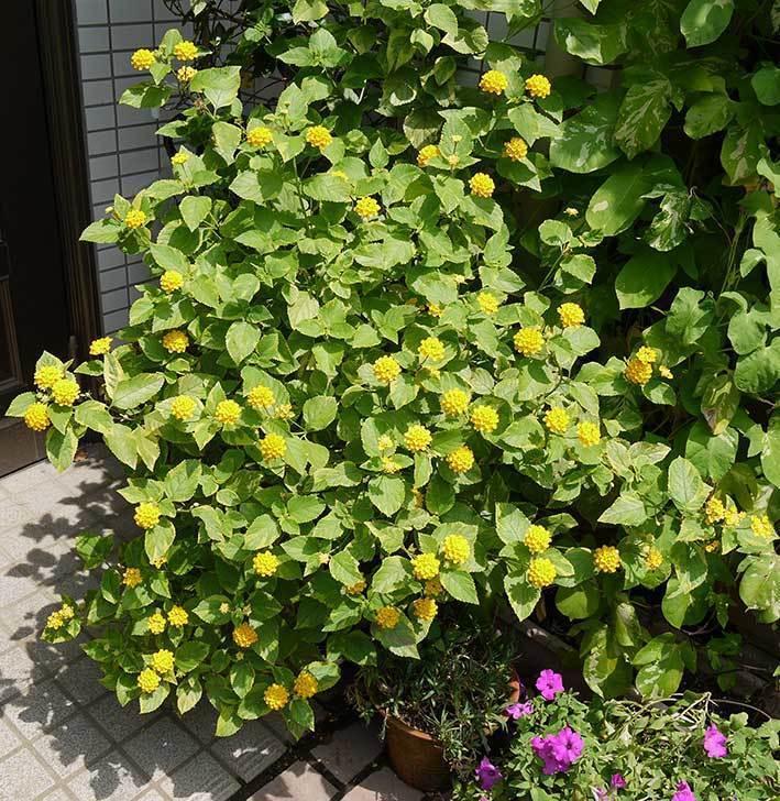 黄色のランタナが咲いた。2015年-2.jpg