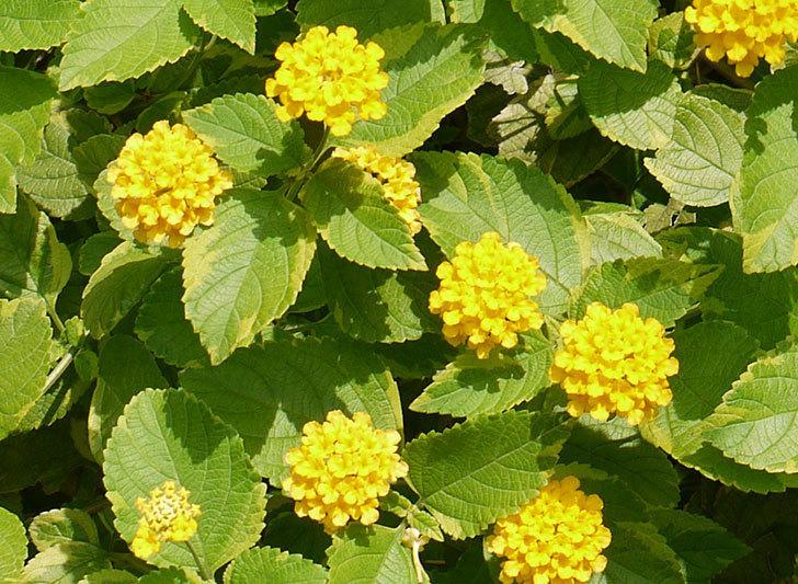黄色のランタナが咲いた。2015年-3.jpg