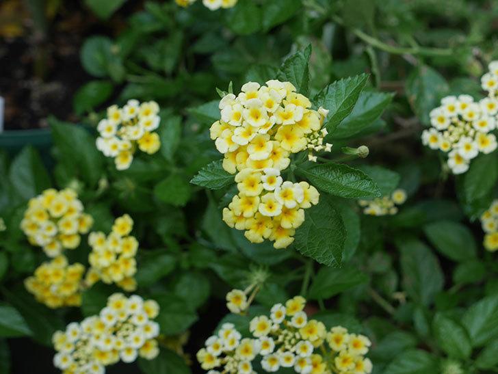 黄色のランタナが咲いた。2018年-1.jpg
