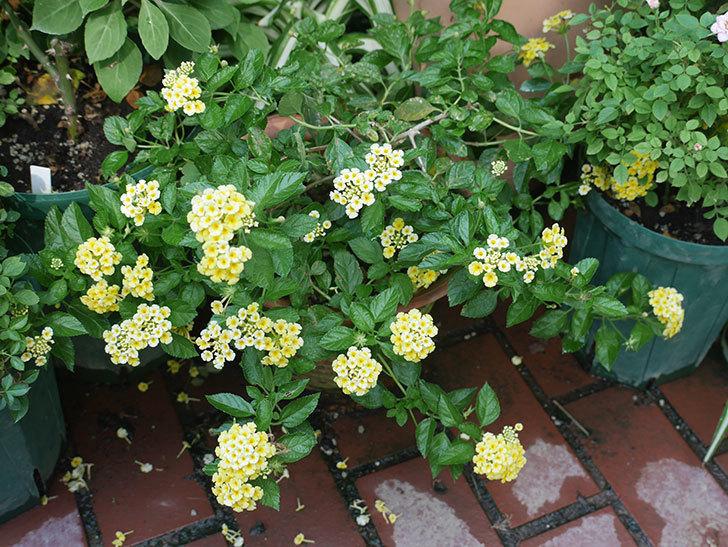 黄色のランタナが咲いた。2018年-2.jpg