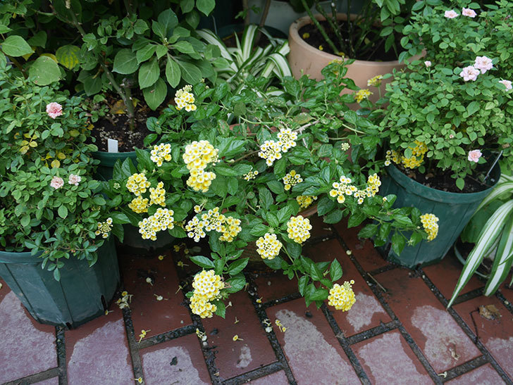 黄色のランタナが咲いた。2018年-3.jpg