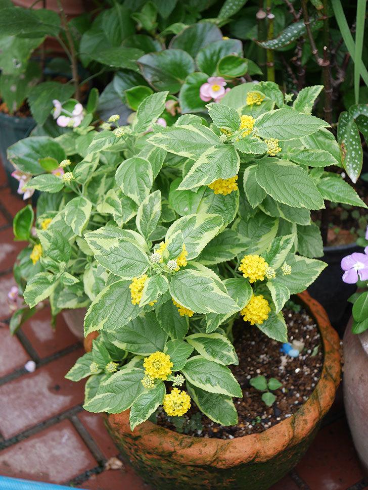 黄色のランタナが咲いた。2020年-003.jpg