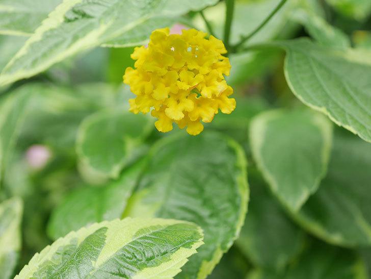 黄色のランタナが咲いた。2020年-005.jpg