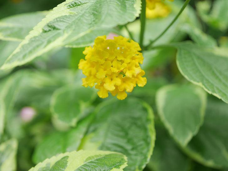 黄色のランタナが咲いた。2020年-006.jpg