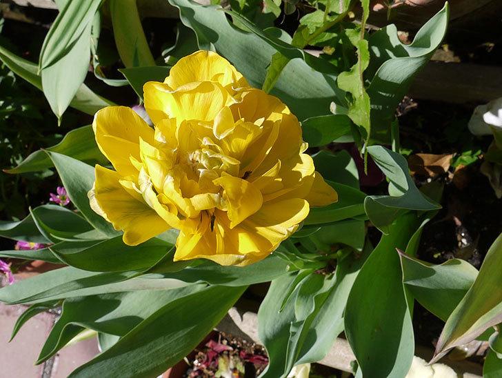黄色の八重咲きチューリップが咲いた。2016年-2.jpg