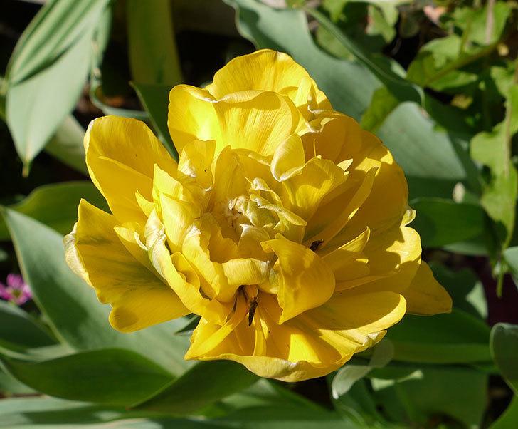 黄色の八重咲きチューリップが咲いた。2016年-3.jpg