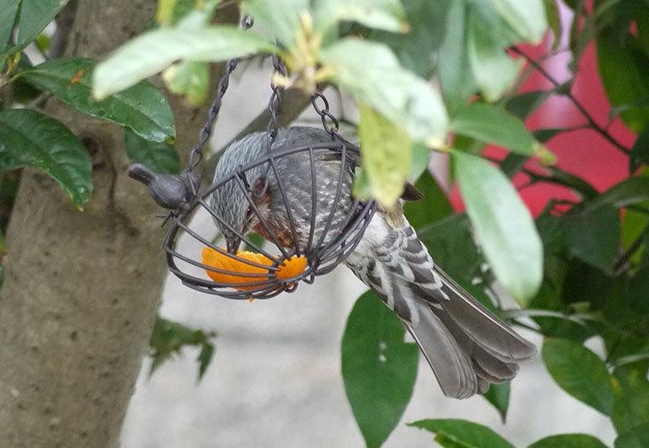 IRON-HANGING-BASKET-アイアン吊りかご-小鳥にヒヨドリが来た1.jpg