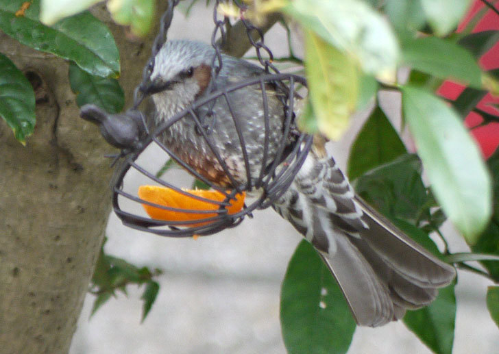 IRON-HANGING-BASKET-アイアン吊りかご-小鳥にヒヨドリが来た2.jpg