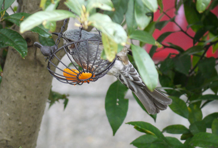 IRON-HANGING-BASKET-アイアン吊りかご-小鳥にヒヨドリが来た3.jpg