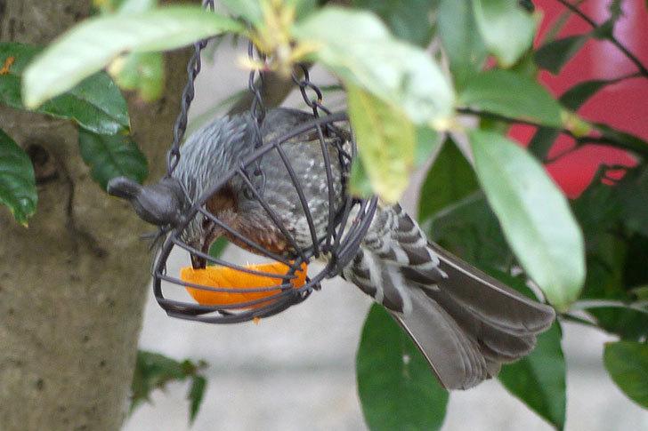 IRON-HANGING-BASKET-アイアン吊りかご-小鳥にヒヨドリが来た4.jpg